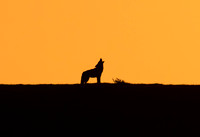 Coyote Howl in Sunset, Point Reyes, CA