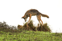 Coyote - Point Reyes, CA