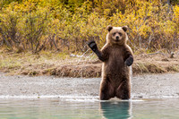 Grizzly Bear- Lake Clark, AK