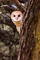 Barn Owl - Point Reyes, CA