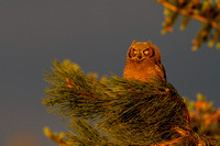 Great Horned Owlet - Steamboat Springs, CO