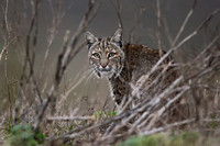 Bobcat - Point Reyes, CA