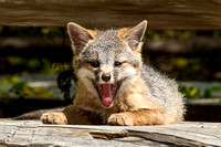 Grey Fox Kit