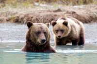 Mother Grizzly Bear and Cub -  Lake Clark, AK