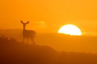 Blacktail Sunrise
