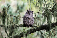 Great Horned Owl - CA